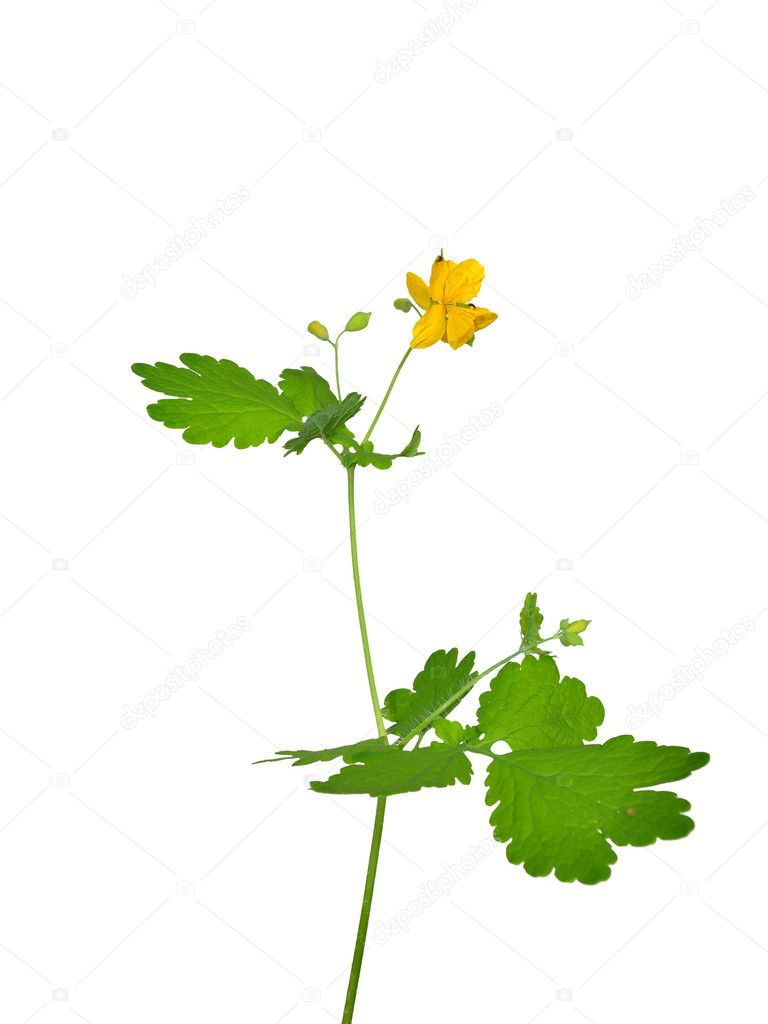 Greater celandine (Chelidonium majus) — Stock Photo #10629486