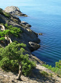Ukraina. krym. morza czarnego. drzewo sosny — Zdjęcie stockowe