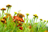 Helenium — Stock Photo