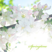 Card 'Seasons': Spring. Apple blossom — Stok fotoğraf