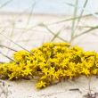 Stock Photo: Perfect yellow flowers on seaside beach