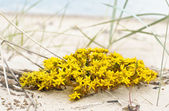Perfect yellow flowers on seaside beach — Stock Photo