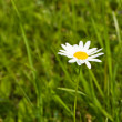 Camomile — Stock Photo #9019916