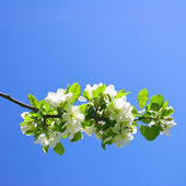Sprig of a blossoming apple-tree — Stock Photo