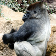 Sitting silver back gorilla — Stock Photo