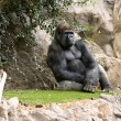 Sitting silver back gorilla - Stock Photo