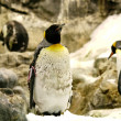 Fading Emperor penguin — Stock Photo