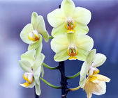 Orchids of rare color — Stock Photo