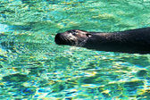 Sea-lion swims in turquoise water — Stock Photo