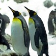 Emperor penguins — Stock fotografie