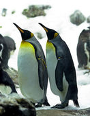 Emperor penguins — Foto Stock