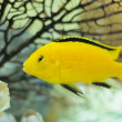 Electric Yellow Cichlid Fish in Aquarium - Stock Photo