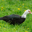 Domestic Muscovy Duck in Green Grass — Stock Photo