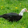 Domestic Muscovy Duck in Green Grass - Stock Photo