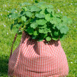 Nasturtium Plant in the Bag on Green Grass - Stock Photo