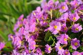 Pink Primula Auricula (Primrose) Flowers — Stock Photo
