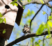Starling Sitting on Tree near Birdhouse — Stock Photo
