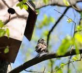Starling Sitting on Tree near Birdhouse — Stock Photo