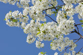 Beautiful Cherry Tree in Blossom in Spring — Stock Photo