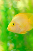 Gold Parrot Fish in Aquarium — Стоковое фото