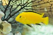Electric Yellow Cichlid Fish in Aquarium — Stock Photo