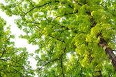 Horse Chestnut (Conker) Trees — Stock Photo