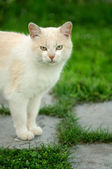 Red Cat Standing on Paved Path — Stock Photo