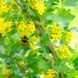Bumblebee Pollinating Jostaberry Bush with Yellow Flowers — Stock Photo