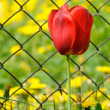 Beautiful Red Tulip by Chain-Link Fence - Zdjęcie stockowe