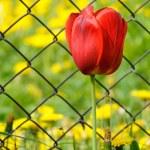 bela tulipa vermelha por cerca de arame — Foto Stock