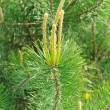 Young Green Pine Tree Branches — Stock Photo