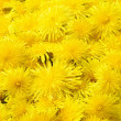 Beautiful Yellow Dandelion Background - Bunch of Taraxacum Officinale Flowers Close-Up — Stock Photo