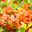 Japanese Quince (Chaenomeles) Shrub in Flower - Stock Photo