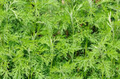 Green Southernwood (Artemisia Abrotanum) Plant — Stock Photo