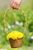 Hand Holding Basket with Yellow Dandelion Flowers — Stock Photo