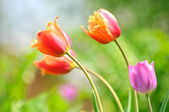 Beautiful Tulips on Flower Bed in the Garden in Spring — Stock Photo