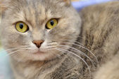 Fluffy Cat with Yellow Eyes — Stock Photo