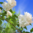 Beautiful White Jasmine Flowers on Blue Sky Background — Stock Photo #8383071