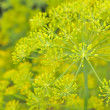 Stock Photo: Dill Umbels on Vegetable Patch