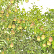 Bountiful Harvest of Pears Growing on Pear Tree — Stock Photo