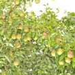 Stock Photo: Bountiful Harvest of Pears Growing on Pear Tree