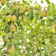 Stock Photo: Abundant Crop of Pears Growing on Pear Tree