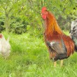 Royalty-Free Stock Photo: Rooster (Cock) and White Hen in Garden