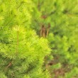 Stock Photo: Young Green Pine Tree in Forest