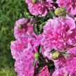 Stock Photo: Beautiful Pink Peony Bush in the Garden