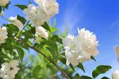 Beautiful White Jasmine Flowers on Blue Sky Background — Stock Photo