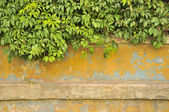 Green Virginia Creeper on Old Concrete Wall — Stock Photo
