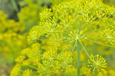 Dill Umbels on Vegetable Patch — Stock Photo