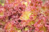 Lollo Rosso Lettuce Close-Up — Stock Photo