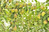 Abundant Crop of Pears Growing on Pear Tree — Stock Photo